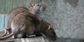 Rats-18.3.13