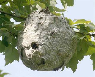 Wasp-nest-1
