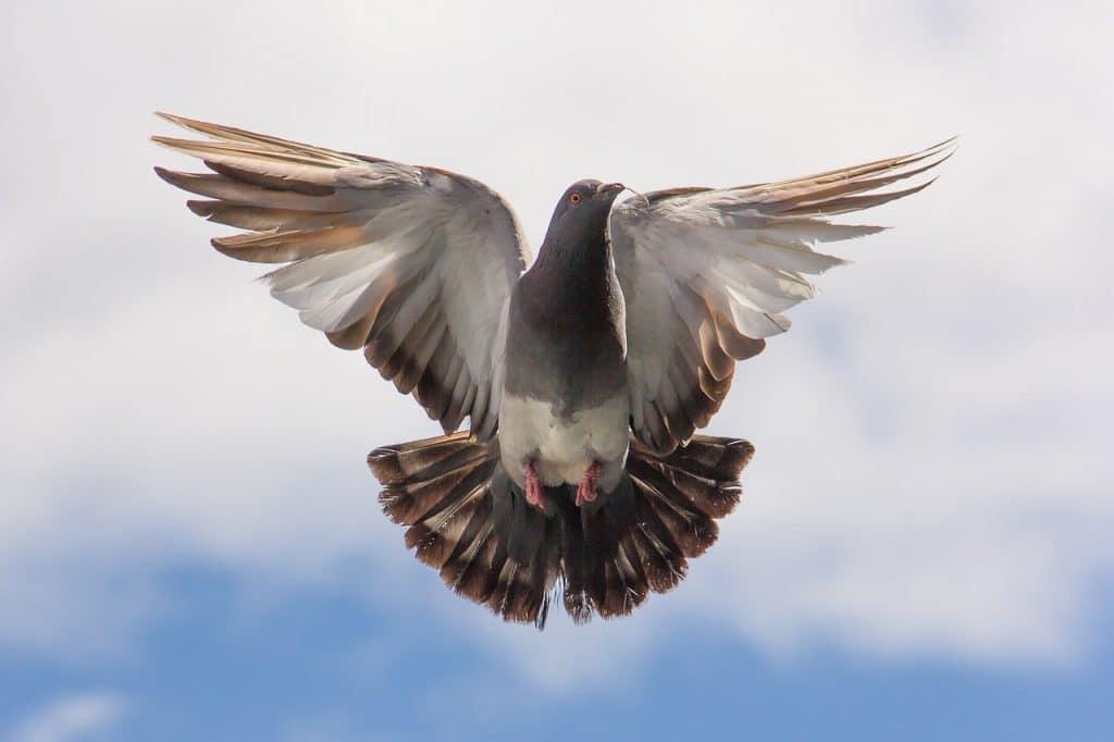 Pigeon Control Suffolk, Pigeon Deterrent Essex, Pigeon Removal Ipswich