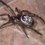 Spider Control Ipswich