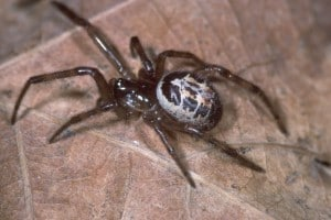 125671.false-widow-spider