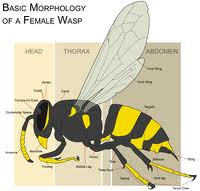 35637.wasp-morphology