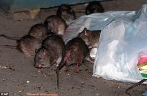4099.rats-on-street-634x417