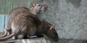 633527.rats-18313