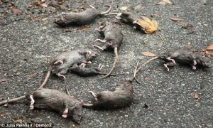 850095.drowned-rats-634x380