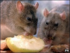 878071.opportunistic-brown-rats