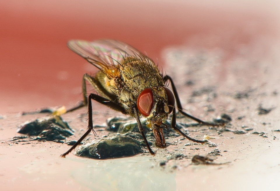 House fly, close-up photo