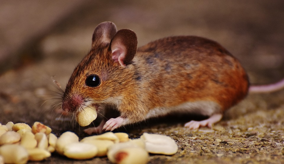 mice control suffolk and essex