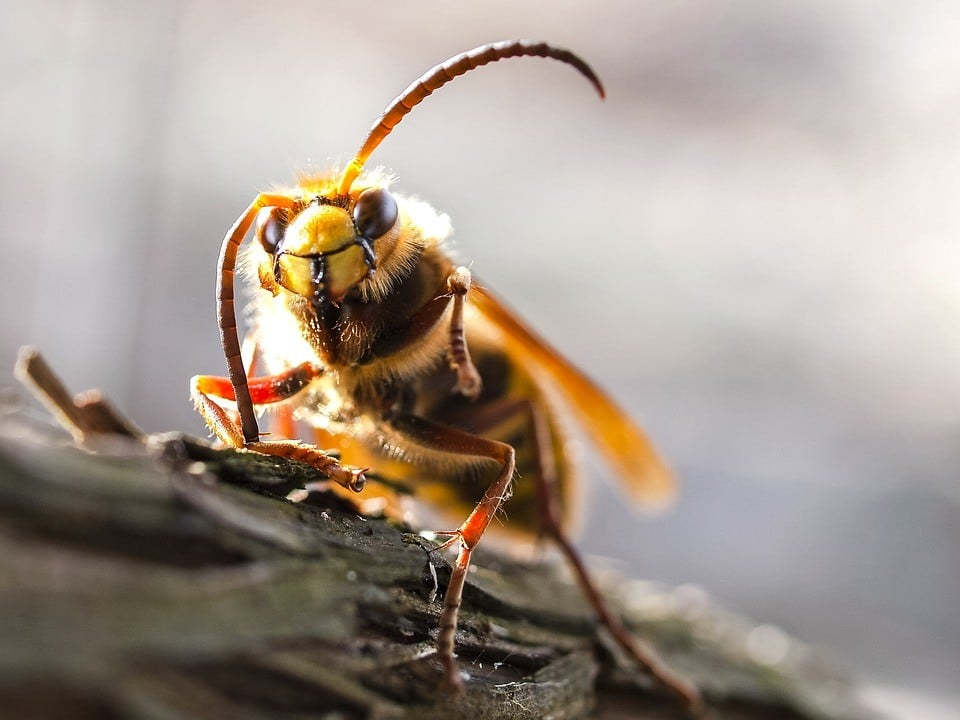 hornet and wasp nest removal Colchester