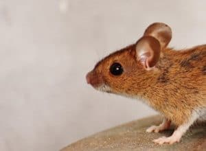 Dealing with Rats & Mice in Suffolk & Essex
