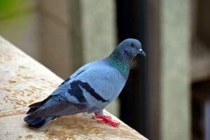 diseases caused by pigeons droppings & feathers