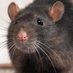 rat control maldon essex