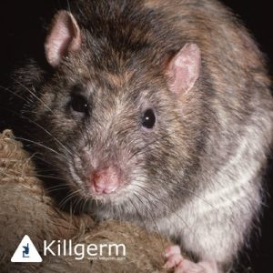 Rat Prevention in Ipswich, Colchester, Essex & Suffolk