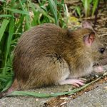 rat control wivenhoe essex