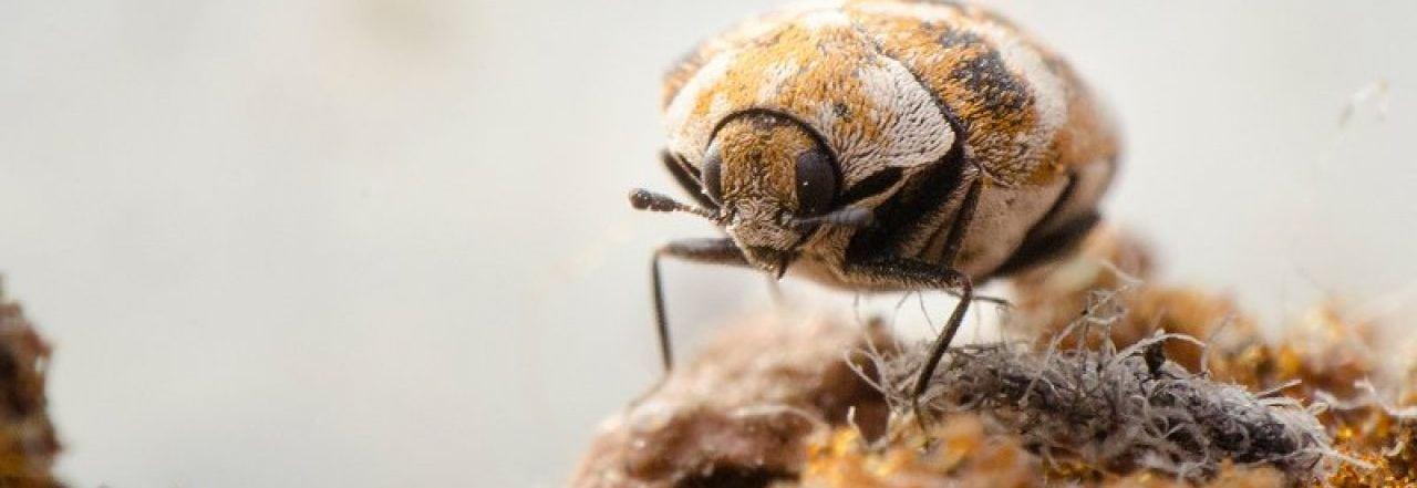 carpet beetle pest control