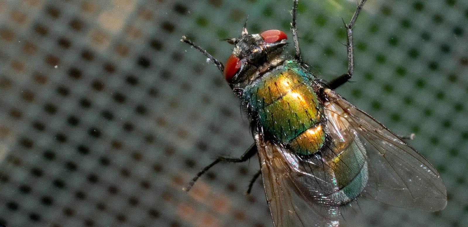 fly pest control in Essex & Suffolk