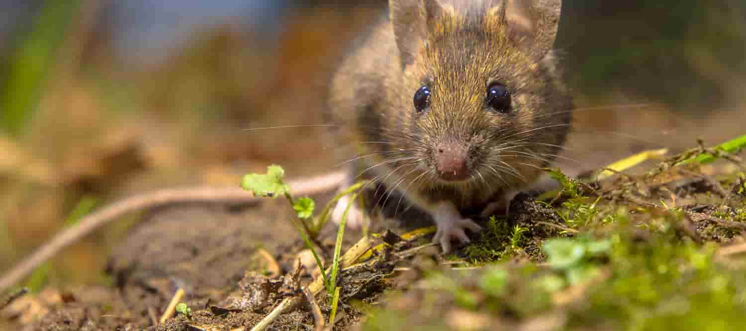 Mice Pest Control & Mouse Extermination in Essex & Suffolk