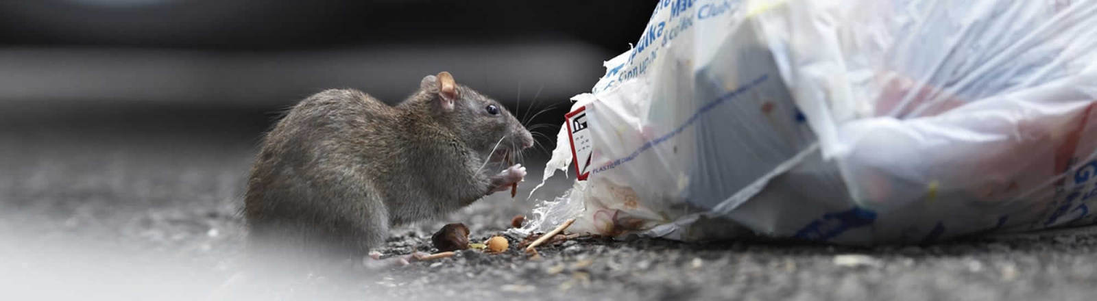 rat pest control in Essex & Suffolk