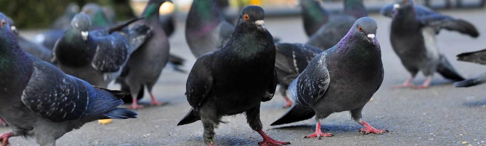 pigeon pest control in Essex & Suffolk