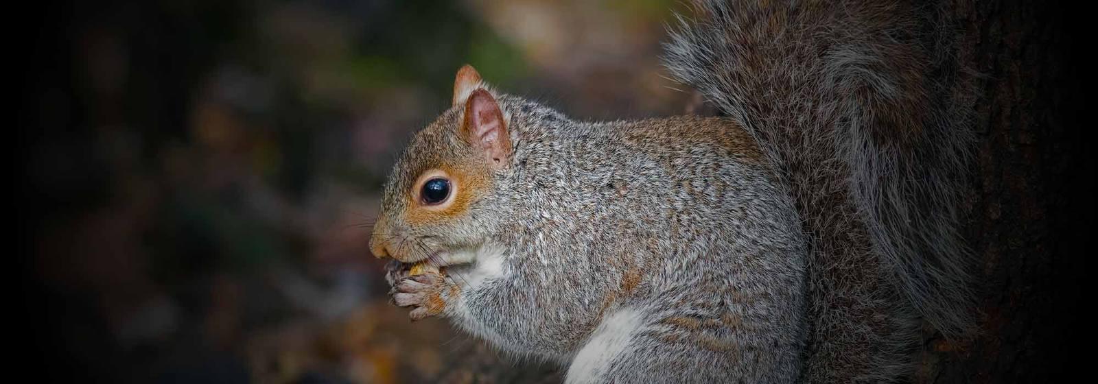 Squirrel Pest Control in Essex & Suffolk