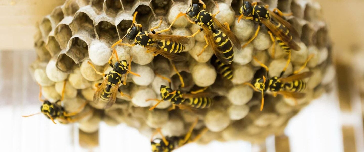 wasp pest control & wasp nest removal in Essex & Suffolk