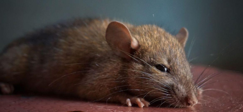 Rat In Operating Theatre